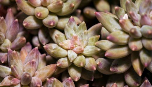 多肉植物のパキフィツム属とは?