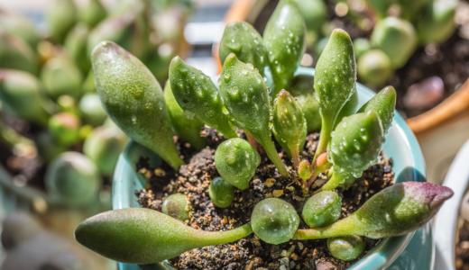 多肉植物のアドロミスクス属とは?